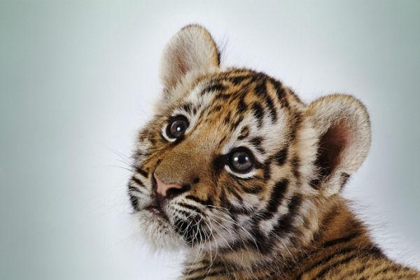 Как мы помогали спасать амурских тигров